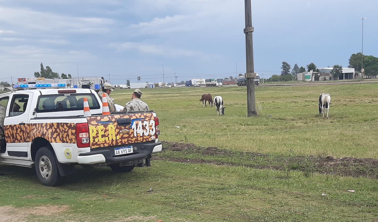 La policia continúa realizando actas de infracción por animales sueltos en rutas nacionales y provinciales