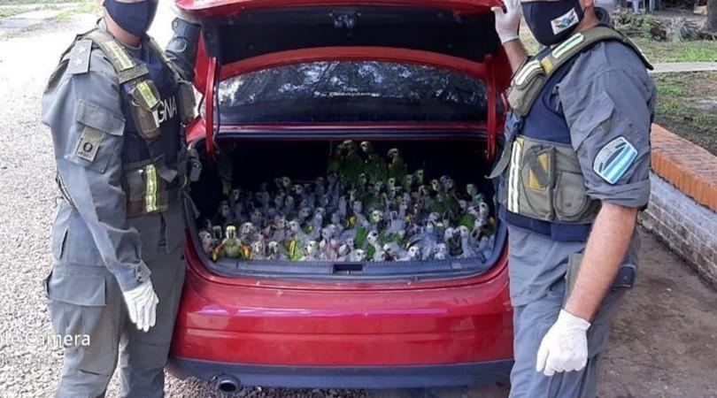 """Llevaban de contrabando 216 loros """"habladores"""" en el baúl de un auto"""