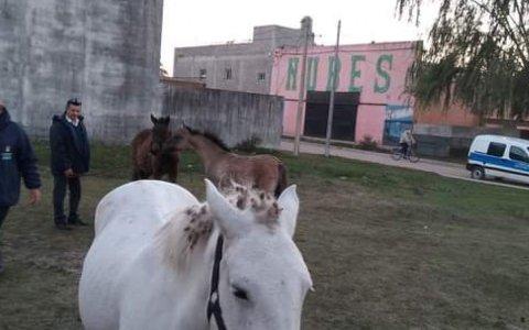 Veterinaria municipal retiró caballos que deambulaban en la vía pública